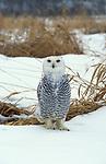 Snowy Owl, Nyctea scandiaca, Canada, in snowy landscape.