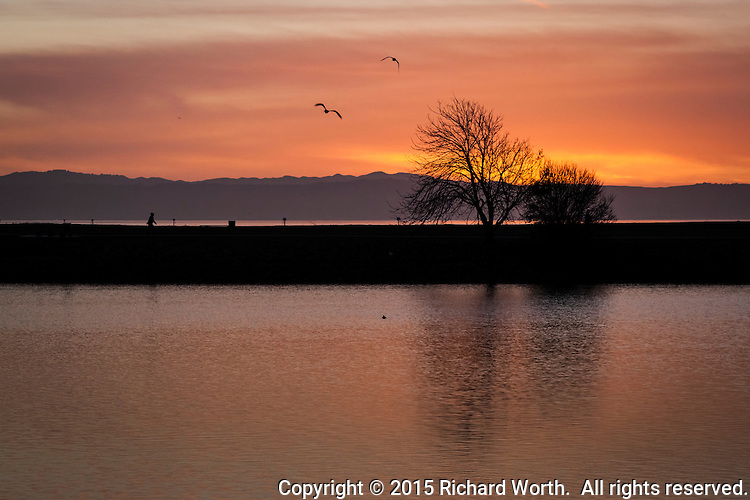 Gulls float by a skeleton-bare tree in silhouette against a golden sunset.