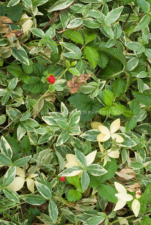 Vinca and Waldsteinia groundcovers for shade