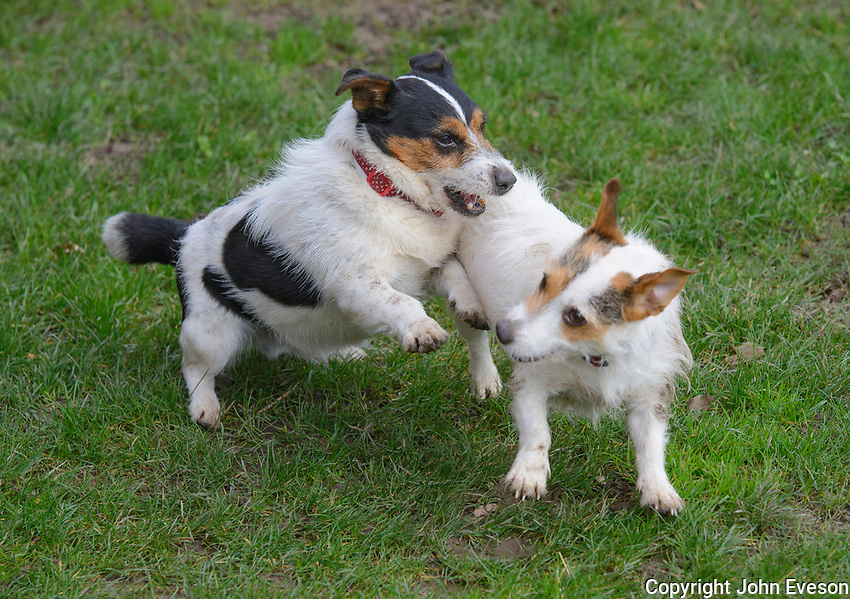 Two Jack Russel terrier dogs play fighting, Ruthin,  Denbighshire, North Wales.