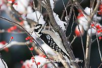 01206-031.17 Downy Woodpecker (Picoides pubescens) female on Common Winterberry (Ilex verticillata)  in winter, Marion Co.  IL