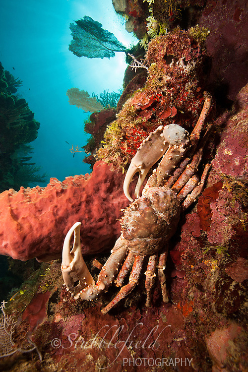 Channel Clinging Crab (Mithrax spinosissimus) on a tropical coral reef off the island of Roatan, Honduras.