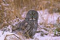 Great Gray Owl (Strix nebulosa) pursuing prey on foot. Ontario, Canada.