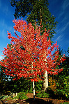 6378-CD Red Sunset Maple, Acer rubrum `Red Sunset', in fall color by oak trees, at McMinnville, Oregon