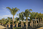 Israel, Northern Negev. Palm trees in Gilat acclimation garden