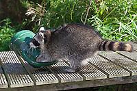 """Waschbär, verwaistes, pflegebedürftiges, in Menschenhand gepflegtes, zahmes Jungtier spielt im Garten mit einer Gießkanne, Tierkind, Tierbaby, Tierbabies, Waschbaer, Wasch-Bär, Procyon lotor, Raccoon, Raton laveur, """"Frodo"""""""