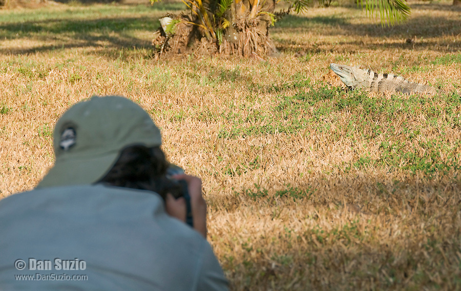 Photographer Yamil Saenz approaches a black spiny-tailed iguana, Ctenosaura similis, on the grounds of Punta Leona Hotel and Resort, Costa Rica