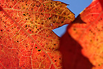 A maple leaf in Gardnerville, Nev., on Oct. 25, 2010..Photo by Cathleen Allison