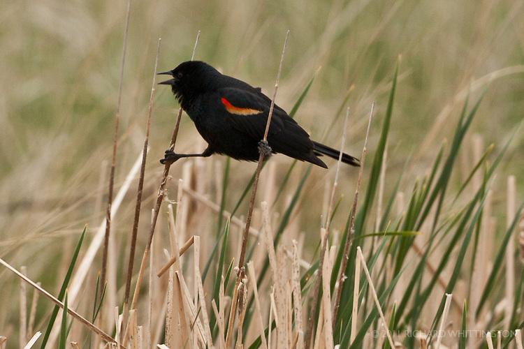 Red-winged Blackbird, North Dakota.