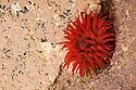 Beadlet anemone {Actinia equina} in a rockpool at low tide, Isle of Skye, Scotland. UK. April.