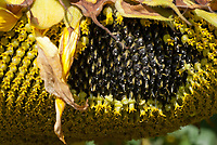 Helianthus annuus Feed the Birds sunflowers with seeds forming, seed heads