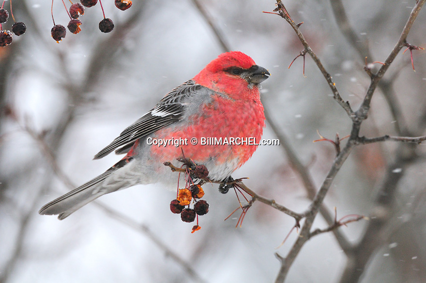00540-005.17 Pine Grosbeak male is feeding on crab apples during snow storm.  Food, landscape, winter, survival