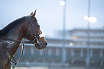 November 1, 2018: Divisidero, trained by Kelly Rubley, exercises in preparation for the Breeders' Cup Mile at Churchill Downs on November 1, 2018 in Louisville, Kentucky. Jamey Price/Eclipse Sportswire/CSM