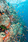 Bligh Waters, Rakiraki, Viti Levu, Fiji; an aggregation of schooling Anthias fish swimming above Toadstool Mushroom Leather Corals, green Black Sun Coral and orange sponge on the coral reef