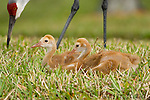 Greater Sandhill Cranes (Grus canadensis) (Florida race), two chicks sitting together, parent in background, Kissimmee, Florida, USA