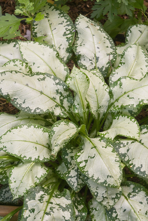 Silvery foliage of perennial Pulmonaria 'Moonshine'