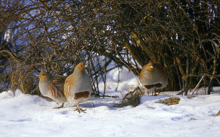 Rebhuhn, Perdix perdix, grey partridge, English partridge, Hungarian partridge, hun, La Perdrix grise