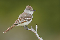 Ash-throated Flycatcher - Myiarchus cinerascens - Adult