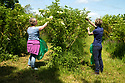 04/05/17<br /> <br /> Belvoir elderflower harvest.<br /> <br /> All Rights Reserved, F Stop Press Ltd +44 (0)7765 242650 www.fstoppress.com rod@fstoppress.com