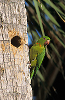 Green Parakeet, Aratinga holochlora,adult at cavity in palm tree, Brownsville, Rio Grande Valley, Texas, USA