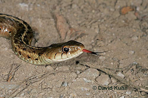 "1211-07rr  Eastern Garter Snake ""Flicking Tongue"" - Thamnophis sirtalis ""Mount Rogers in Virginia"" - © David Kuhn/Dwight Kuhn Photography."