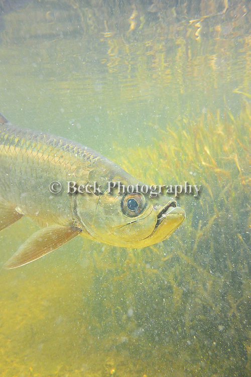 Tarpon caught while Saltwater fly fishing in Holbox Mexico