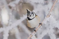 Crested Tit, Parus cristatus, adult on branch with frost by minus 15 Celsius, Lenzerheide, Switzerland, Dezember 2005