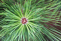 Stock photo: Pine leaves top view making beautiful mesmerizing geometrical pattern by leaves and infant pine cone in the center.
