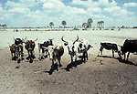 Overgrazed land in Northern Namibia.  The land here has been grazed back to desert by Ovambo cattle.