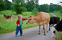 Young boy on farm holiday pats a cow on a country lane in Devon, England