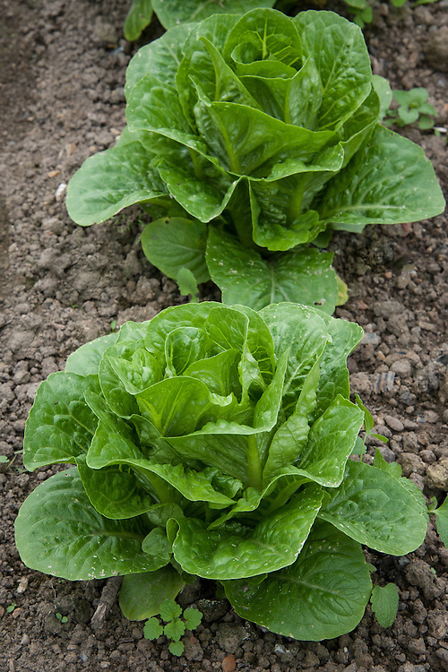Lettuce 'Chartwell', early June. A Romaine variety.