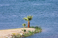 Palm trees along the Colorado River near Parker, Arizona.