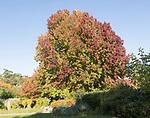 Liquidambar styraciflua, American sweetgum or redgum, in autumn leaf foliage, Woodbridge, Suffolk, England, UK