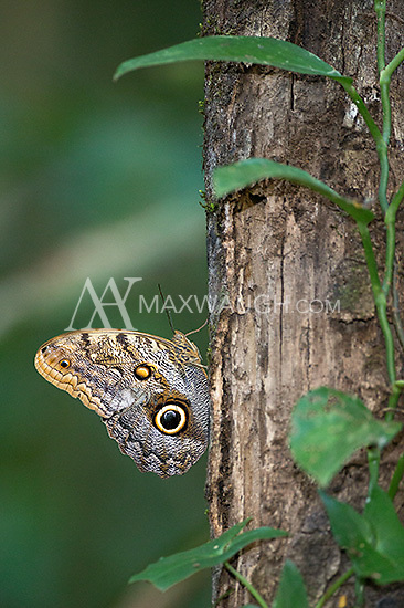 The owl butterfly is an expert mimic.