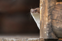 Short-tailed weasel peers out from a cabin porch in the Alaska Range mountains.