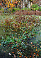 Grasses grow on the edge of a small pond while autumn color and leaves decorate the scene, Green Valley, Forest Preserve, DuPage, County, Illinois