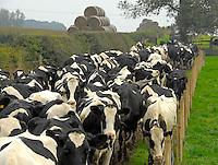 Peter Chapman. Envirobed, milking, calves.