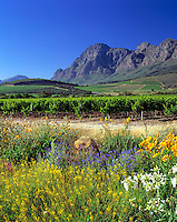 South Africa, near Cape Town, Winelands Paarl: wine estate Backsberg and Simonsberg mountain