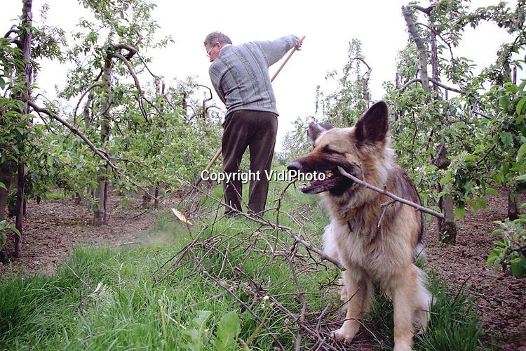 Foto: VidiPhoto..OOSTERHOUT - In de 20 hectare grote appelboomgaard van fruitteler M. Tijssen uit het Gelderse Oosterhout, wordt nu pas het snoeihout van januari verwijderd. Tot nog toe is het te nat geweest om het afvalhout weg te kunnen halen. Het hout wordt aangeharkt en vervolgens versnipperd. Een flinke hulp is de Duitse herder Sita. Het dier neemt de takken in z'n bek en sleept ze naar het pad tussen de bomen..