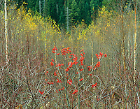 Mountain ash berries in fall,GLACIER NATIONAL PARK, Montana