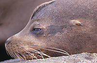 A sealion, with magnificent whiskers, rests its head on rock at the edge of the ocean. As with all birds and animals on the Galapagos, the proximity of a human does not alarm it.