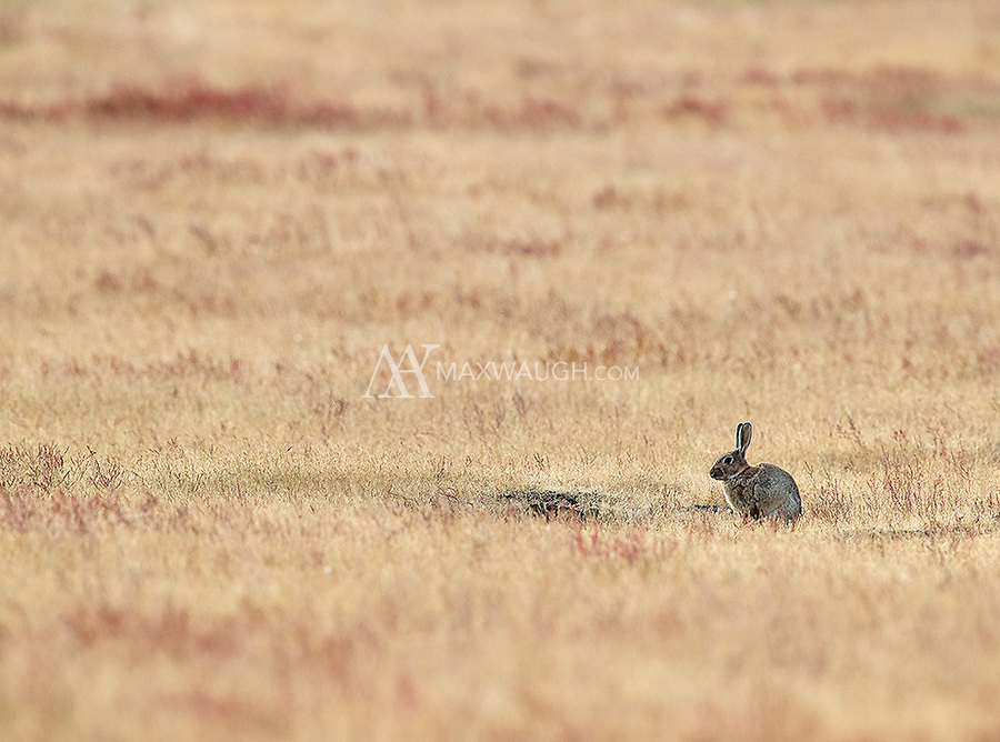 A nuisance species on San Juan Island, these rabbits led to the introduction of red foxes on the island in the last century.  Naturally, the foxes didn't put much of a dent in the population.