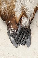 Galapagos Sea Lion (Zalophus wollebaeki), adult feet, Espanola Island, Galapagos, Ecuador, South America