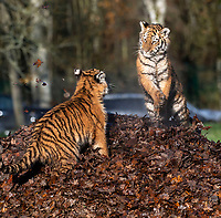 BNPS.co.uk (01202 558833)<br /> Pic: IanTurner/BNPS<br /> <br /> The wonderful thing about tiggers...Longleat's newest arrivals go on display to the public for the first time.<br /> <br /> The endangered Amur tiger cubs - the world's largest big cats – have been seen by visitors for the first time at the Longleat Safari Park.<br /><br />And the precocious pair were soon frollicking in the autumn sunshine whilst playing in the fallen leaves, and pouncing on their long suffering mother Yana.<br /> <br /> The male called Rusty and a female called Yuki, are part of a European wide breeding programme for the endangered sub-species.<br /><br />Native to the far east of Russia, the Amur tiger is the largest of the big cats and can weigh up to 300 kg and measure more than three metres in length. <br /><br />In the 1930s the tigers had nearly died out due to hunting and logging. At one stage it is thought the population fell as low as just 20–30 animals. <br /> <br /> Although they are still under severe threat their status was officially changed from Critically Endangered to Endangered in 2007.