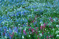 Close up of wildflower field. Mt. Rainier National Park, Washington