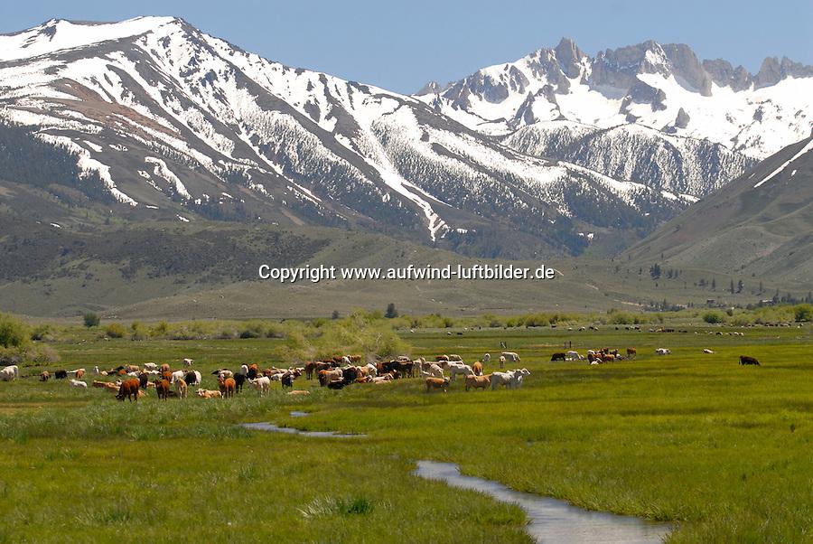 4415 / Kuhherde : AMERIKA, VEREINIGTE STAATEN VON AMERIKA, CALIFORNIEN,  (AMERICA, UNITED STATES OF AMERICA), 04.06.2006: Kuhherde zwischen Bishop und Mono Lake am Highway 395 im Hintergrund die Sierra Nevada