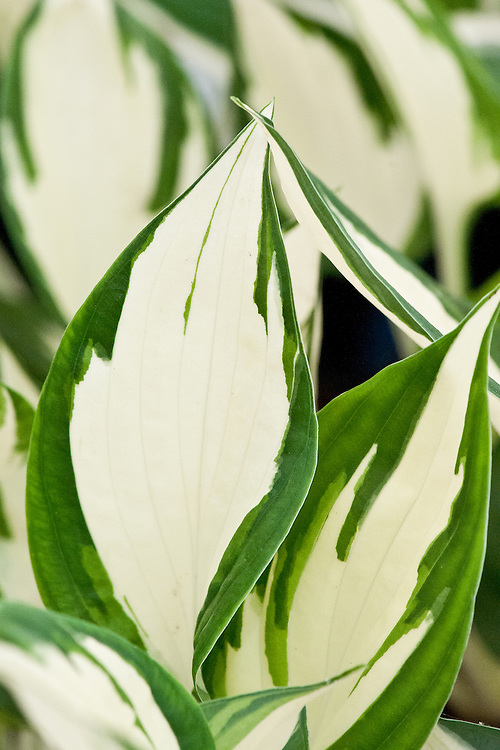 Hosta 'Fire and Ice', a sport of H. 'Patriot'.