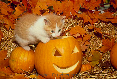 Yellow and white kitten climbs in carved pumpkins for Halloween
