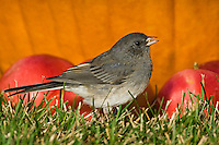 Dark-eyed Junco (Junco hyemalis) in grass with pumpkin and fallen apples, early autumn, Nova Scotia, Canada.