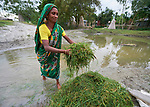 A woman rinses grass before feeding it to her animals in Kunderpara, a village on an island in the Brahmaputra River in northern Bangladesh.